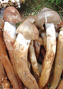 香蕈鸡枞菌